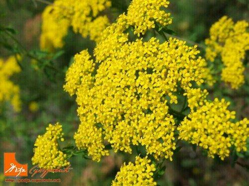 жути цвет